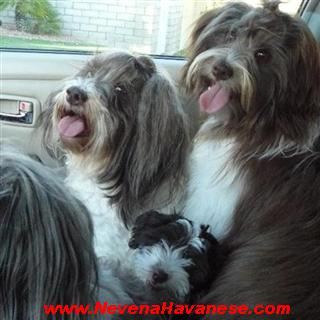 Chocolate Havanese Dogs For Sale